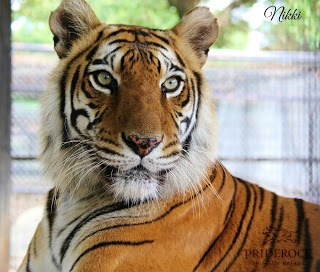 , Tigers, tigers and more tigers