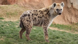 , Get to know the hyena