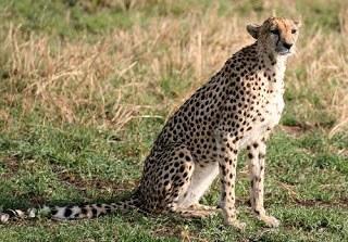 , King Cheetahs