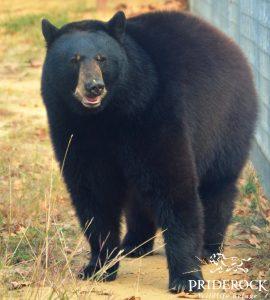 , The Three Bears of PrideRock