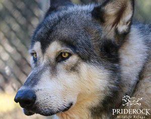 , The Wolf Hybrids