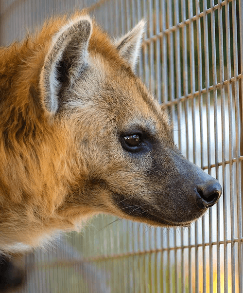 , Meet Helena the Hyena