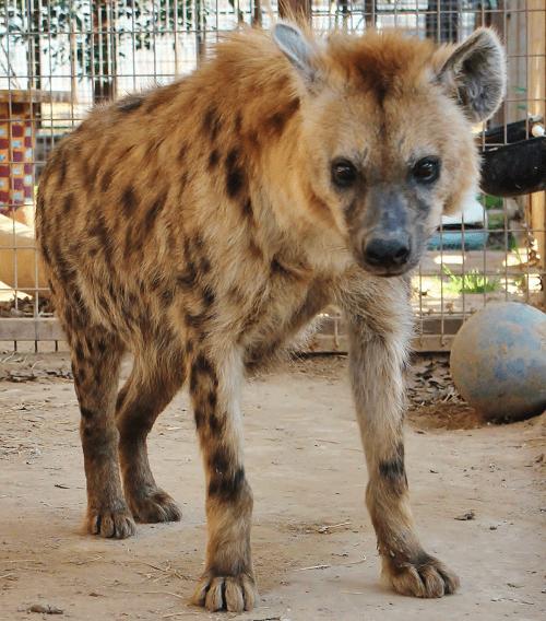 , Meet Helena the Hyena