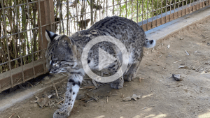 , PrideRock Rescues Baby Bobcat: Meet 10-Month-Old Babu!