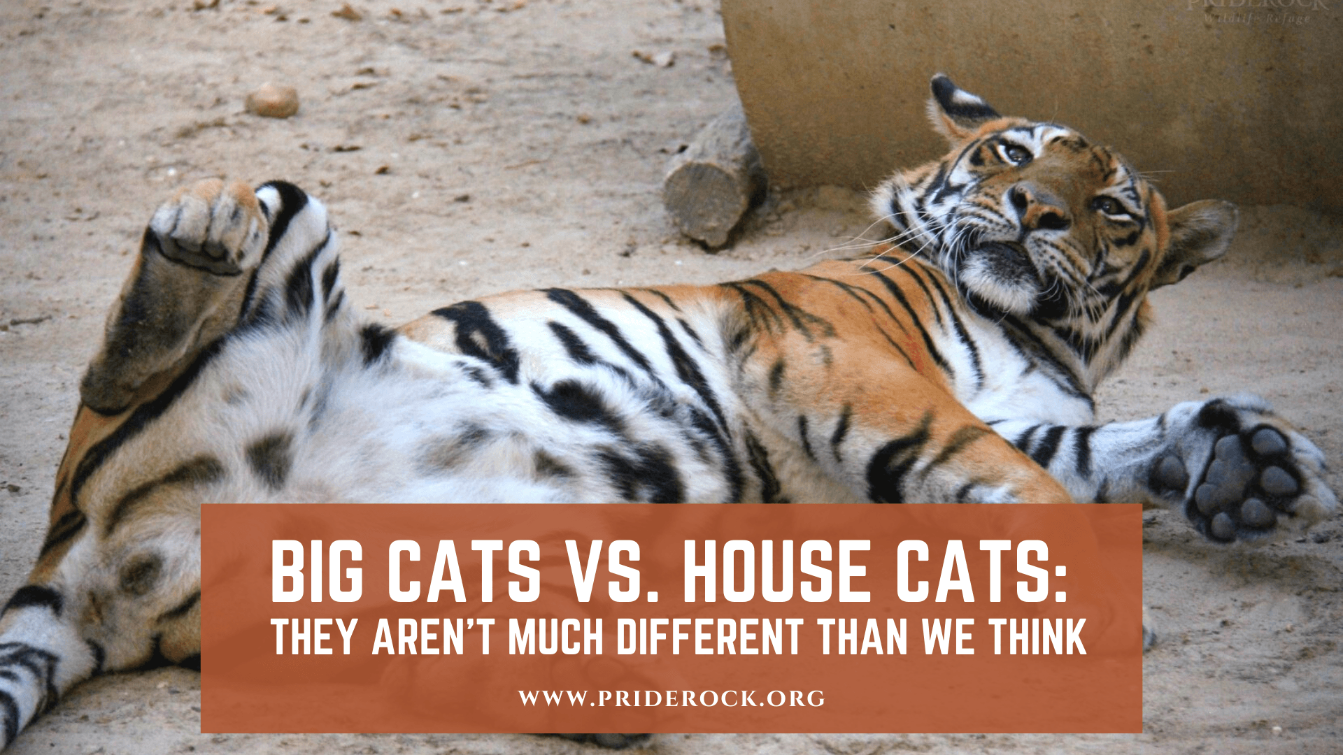 , Big Cats vs. House Cats: They Aren't Much Different Than We Think