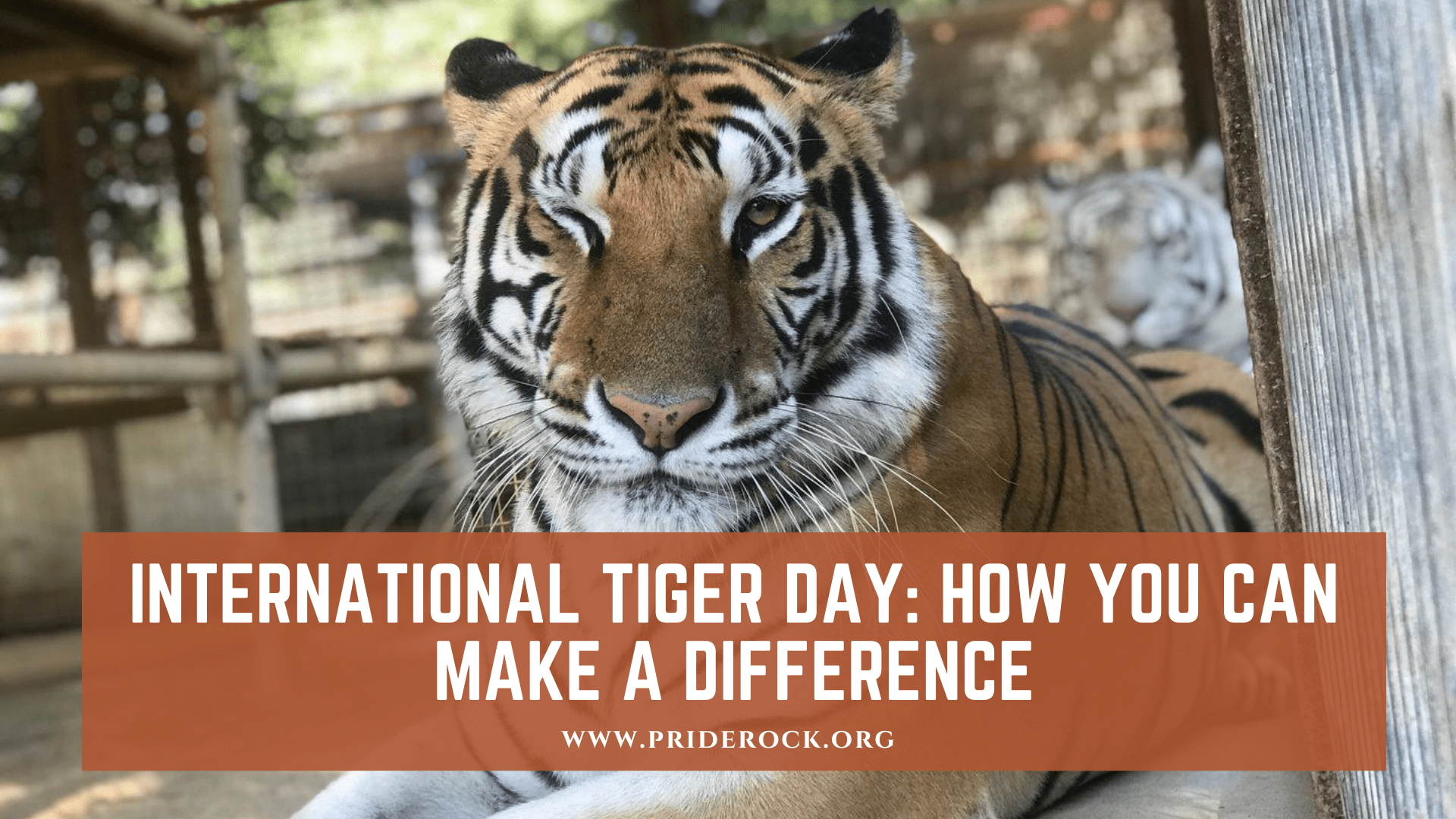 , International Tiger Day: How You Can Make a Difference