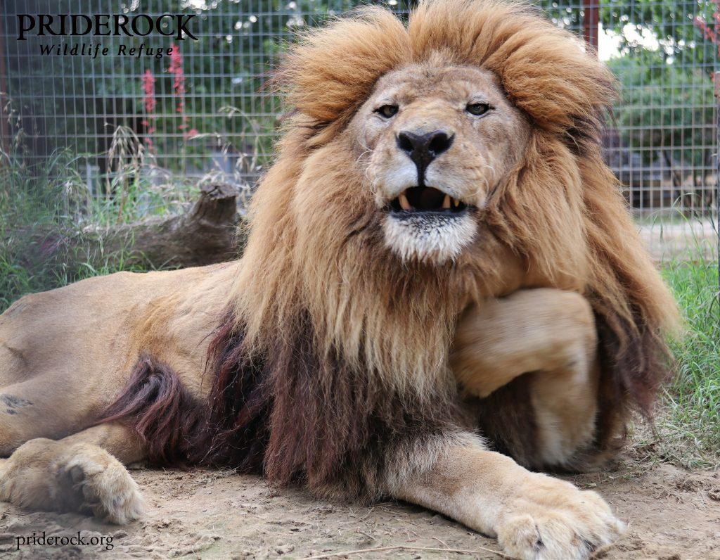 , World Lion Day: Help Us Celebrate Leo and Diego